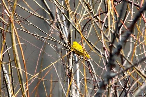 Goldfinch 5.8.14