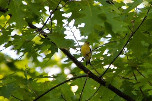 Goldfinch 6.6.14