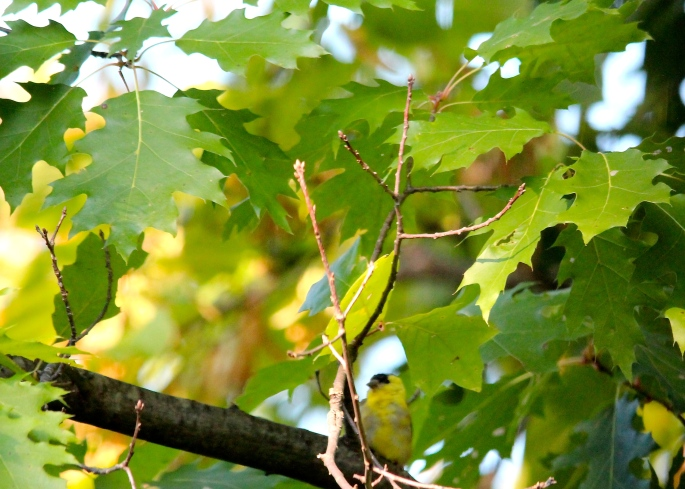 Goldfinch Blends in with leaves