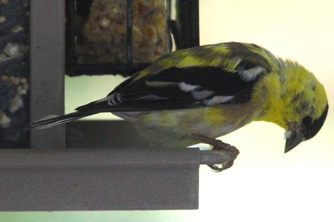 Goldfinch. Clear Profile
