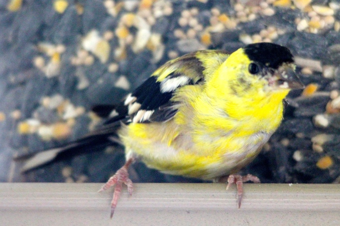 Goldfinch Feet and Claws