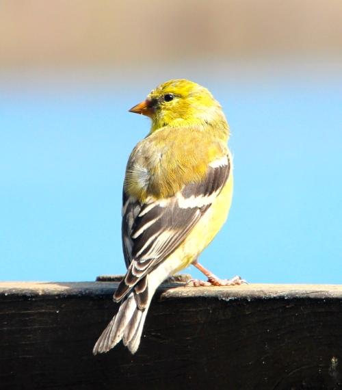 Goldfinch. Female