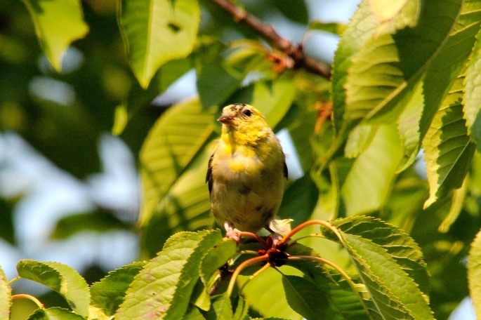 *Goldfinch in cherry tree
