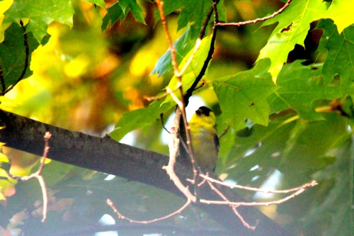 Goldfinch in Oak Tree