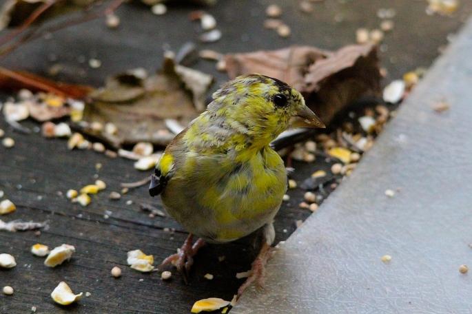 *Goldfinch Juvenile