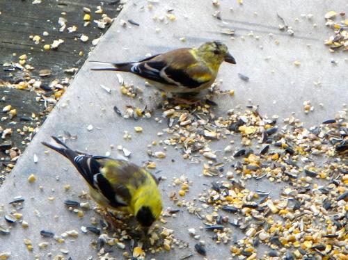 Goldfinch juveniles