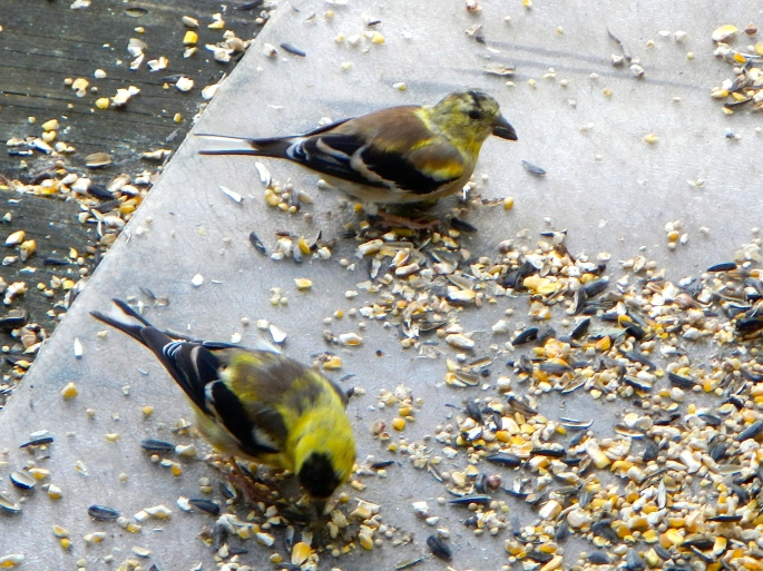 Goldfinch juveniles