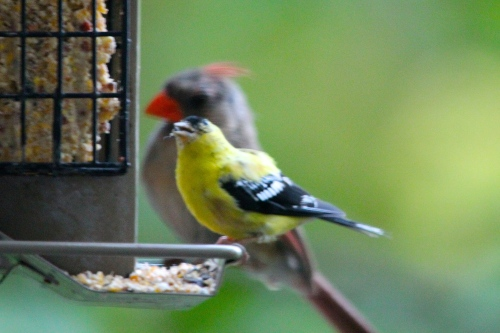 Goldfinch next to cardinal