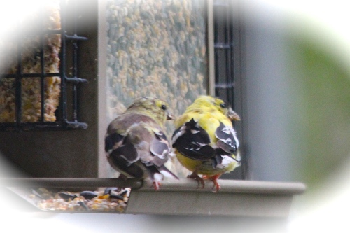 Goldfinches. Rear View