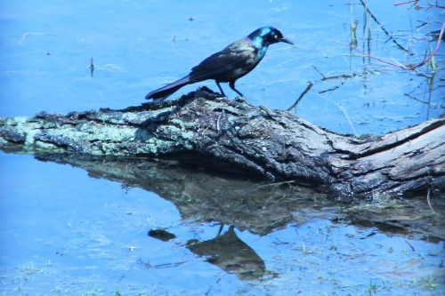 Grackle. Common 4.22.13