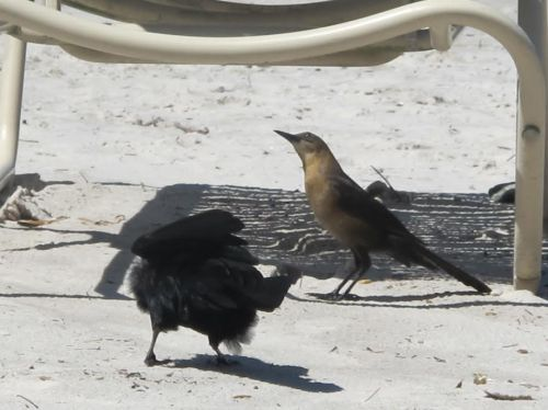 Grackle fighting for food