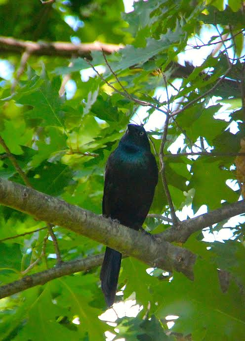 Grackle in a tree