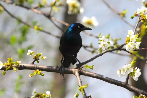 Grackle in Cherry tree