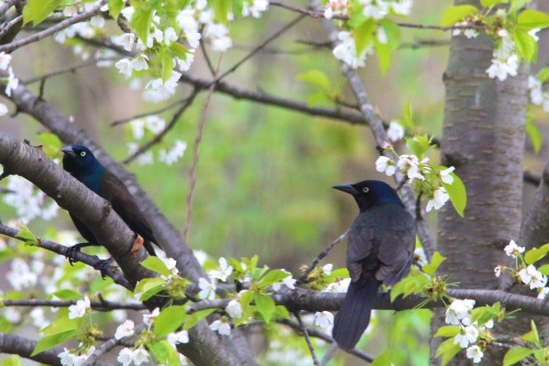 Grackle. Male + Female look the same