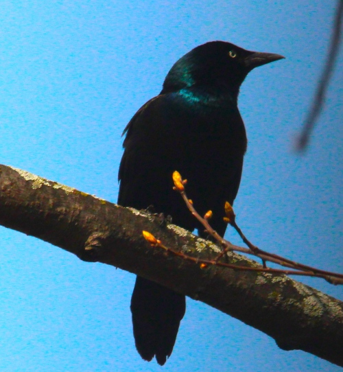Grackle on branch