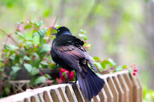Grackle scaring birds 5.13.14