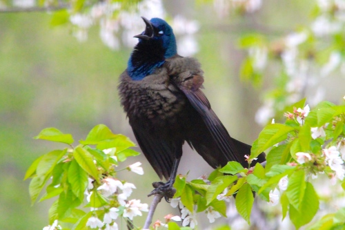 Grackle singing 5.14.14