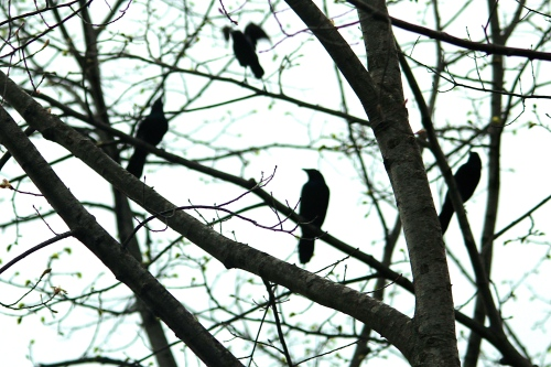 Grackles in a tree