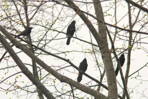 Grackles in tree