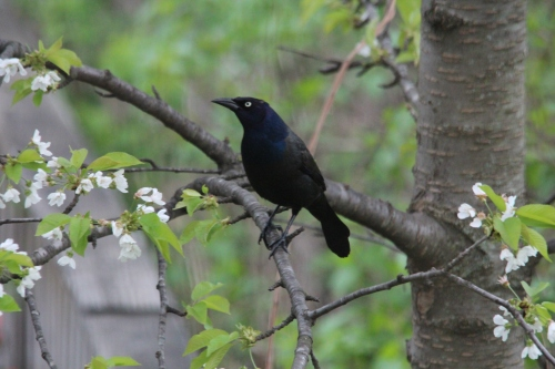 Grackles look mean! 5.14.14