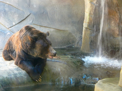 Grizzly Bear. waterfall