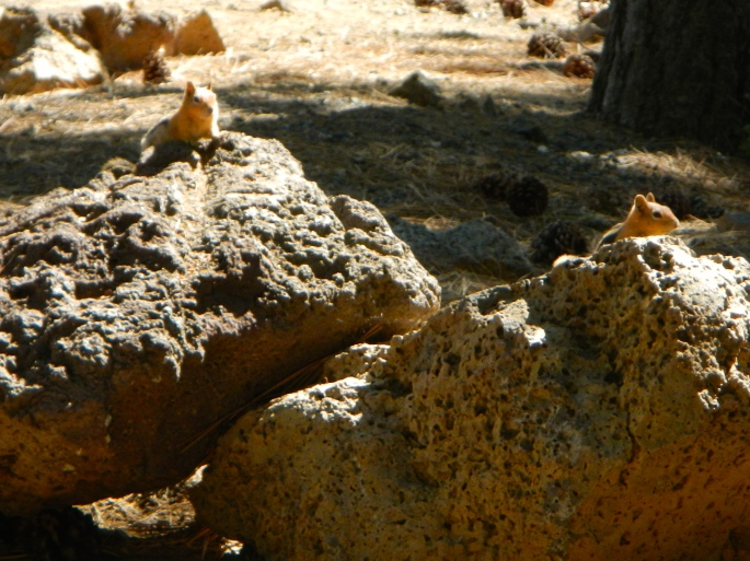 Ground squirrels in OR
