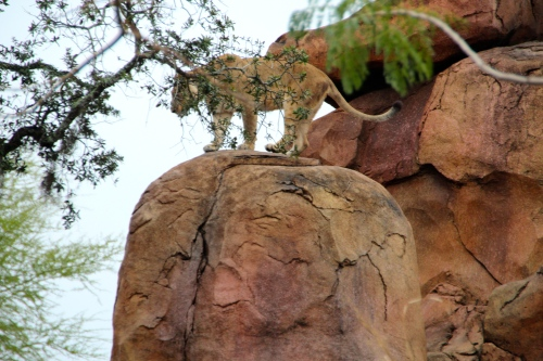 Lioness standing on rock