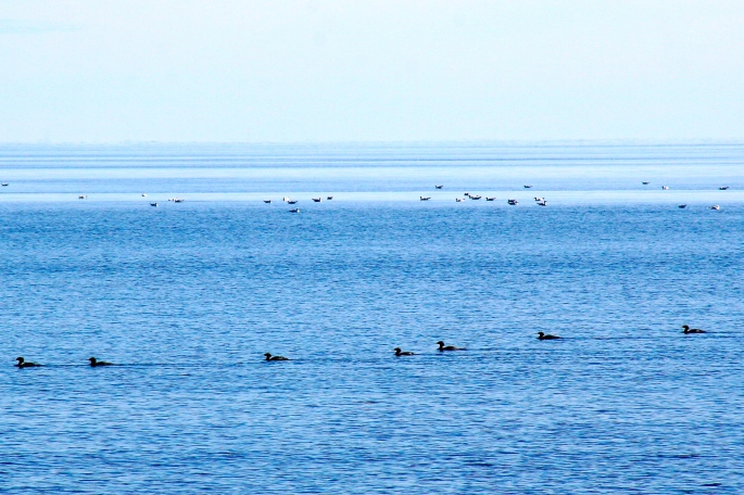Loons and gulls
