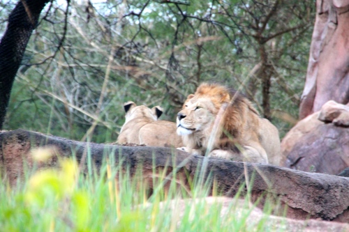 Male and female lion resting
