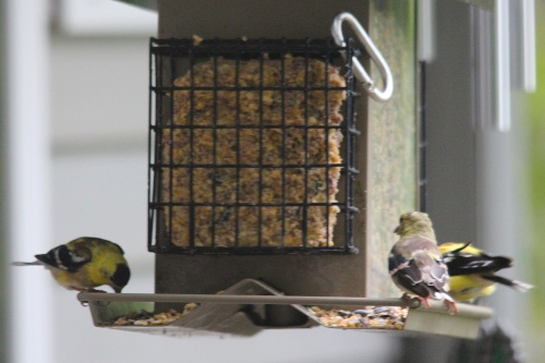 Male goldfinch+ 2 juveniles