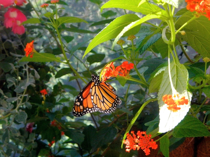 Monarch. 8.28.14JPG
