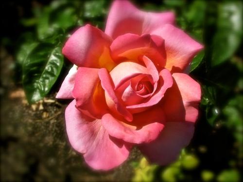 Rose, Pink copy 2
