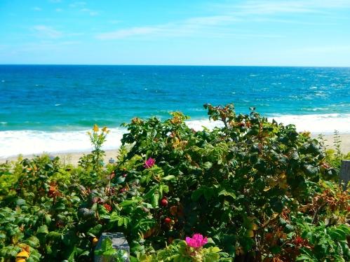 Roses along Cape Cod National Seashore