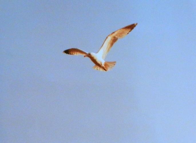 Sea gull at Presque Isle