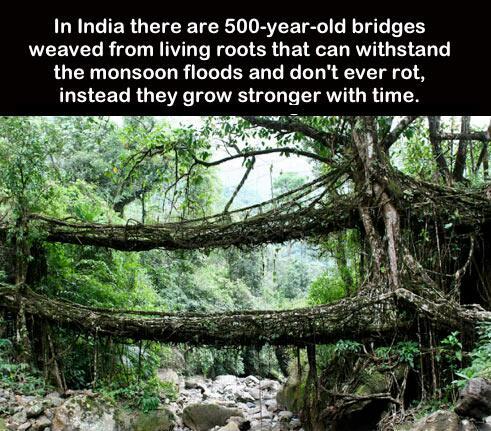 Tree Root Bridge. India