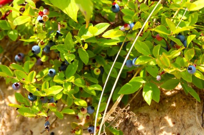 Wild Blueberries