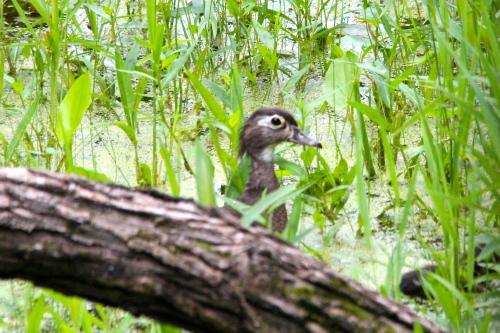 Wood Duck+ 7.14.14