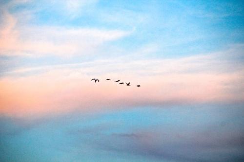 Birds, migrating