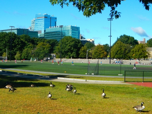 Boston Park Geese copy