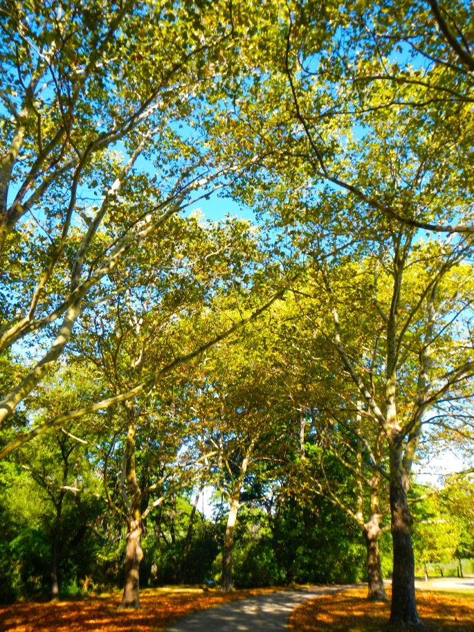 Chestnut trees on Emerald Necklace