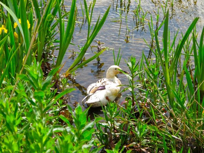 Duck. White