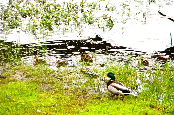 Ducklings on shore