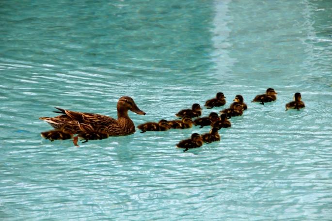 Ducks in Disney Resort Pool