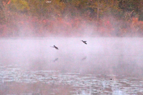 Ducks in fall mist