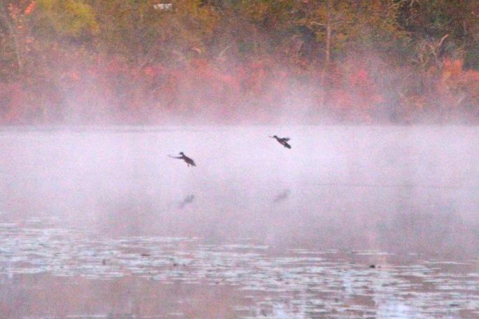 Ducks in fall mist