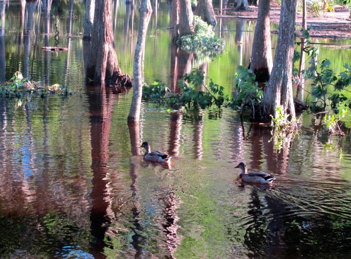Ducks in swamp