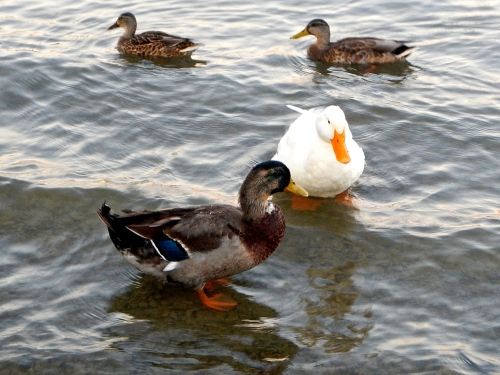 Ducks; mallard and domestic copy