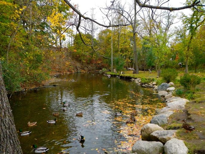 Ducks on River