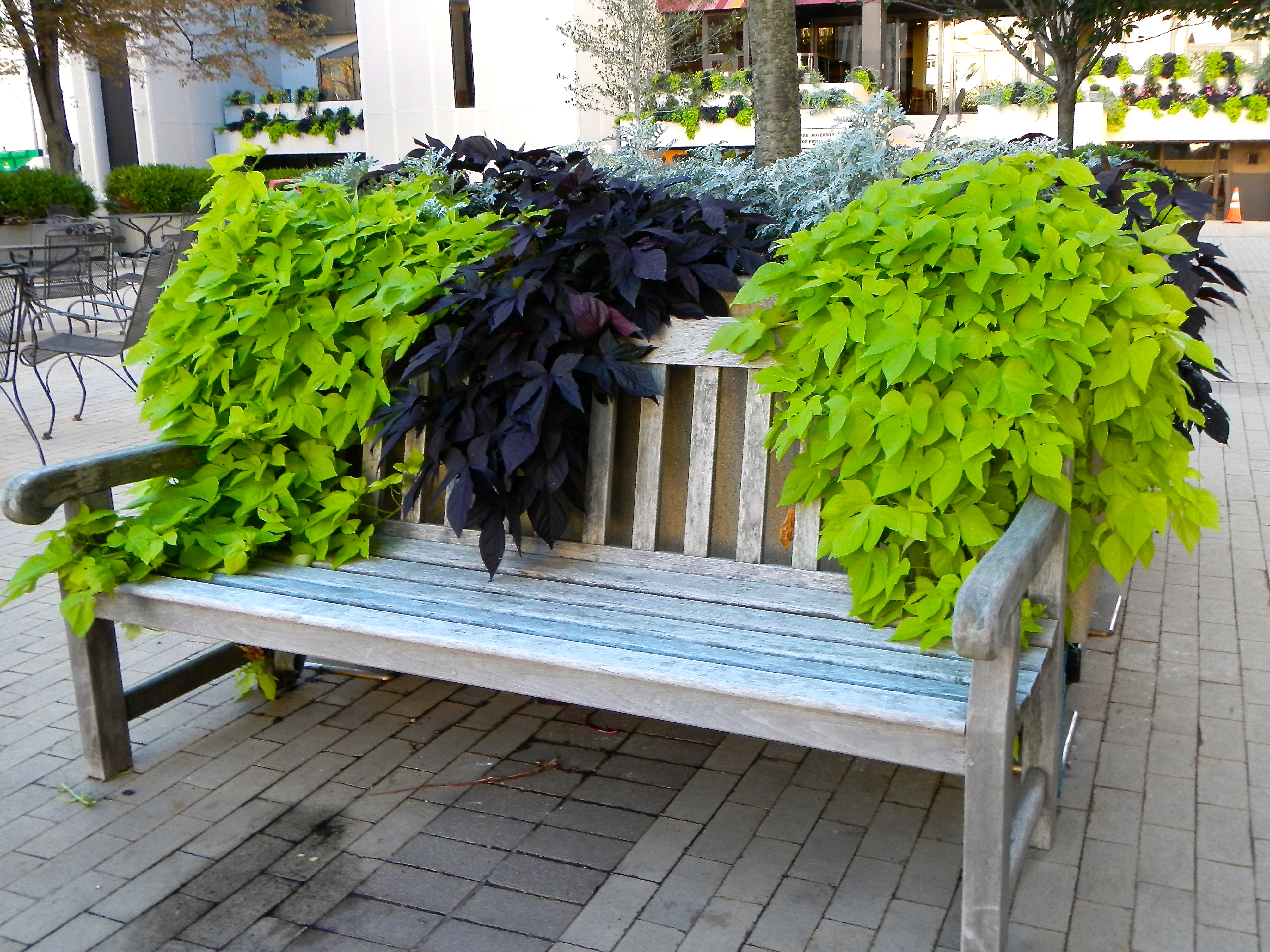 Ivy-covered bench