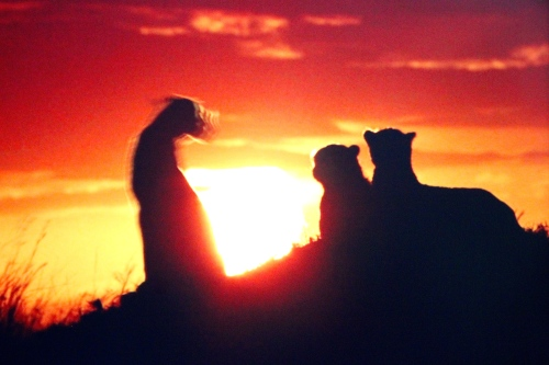 Lions in Sunset